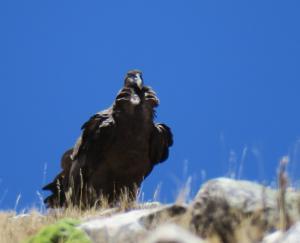 Andean Condor (imm)