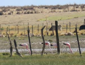 Andean and Chilean Flamingos
