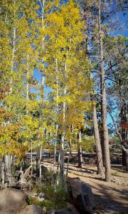 Aspens at the Lowell Observatory