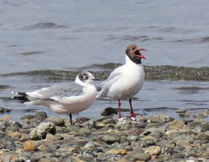 Franklin's and brown-hooded gulls