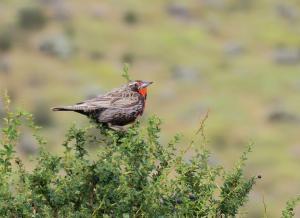Long-tailed meadowlark