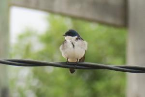 Swallow species