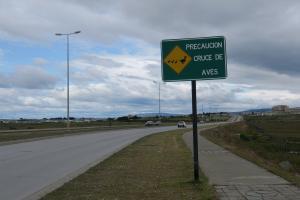 Bird crossing, Punta Arenas