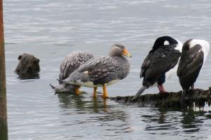 Flightless steamer-duck