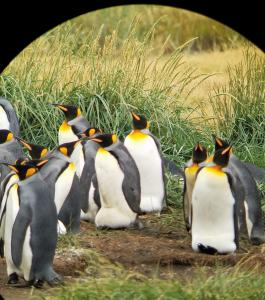 King penguins, scope view