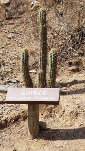 Quisco cactus