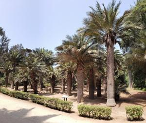 Chilean palms, Viña del Mar Botanical Gardens
