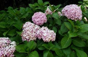 Hydrangeas, Vina del Mar Botanic Garden