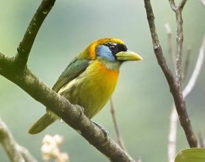 Red-headed barbet (female)
