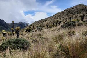 Espletia forest, Los Nevados
