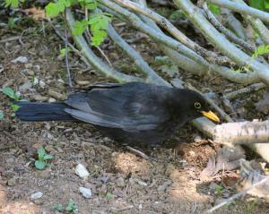 European Blackbird (aka Amsel)
