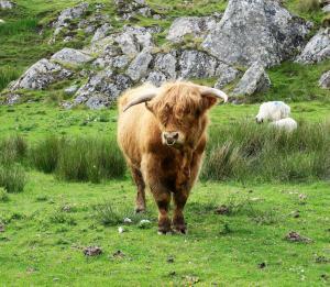 Highland Cattle (Hielan Coo)