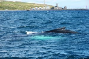 Humpback whale, closer than ever