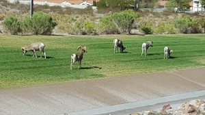 Big Horn Sheep outside Las Vegas