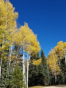 Aspens near Grand Canyon north rim