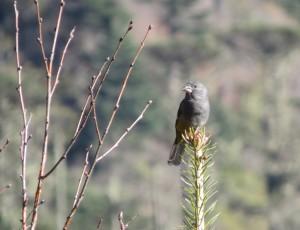 White-winged Grosbeak (f)