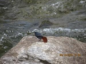 Plumbeous Redstart