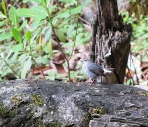 Plumbeous Redstart (f)
