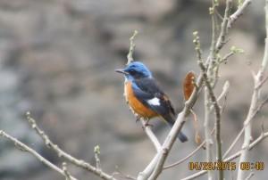 Blue-capped Rock Thrush