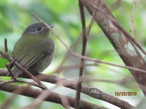 White-crowned manakin (f)