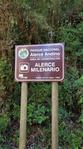 Millenial tree at Alerce Andino