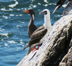 Peruvian Booby and Red-legged Cormorant