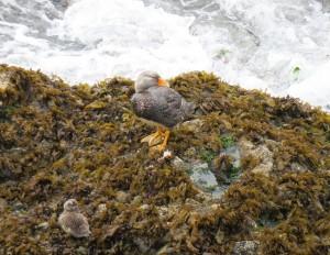 Flightless Steamer-duck with duckling