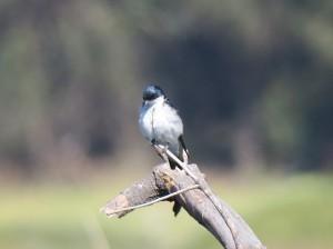 Chilean Swallow