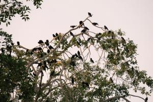 Sinaloa Crows (mostly)