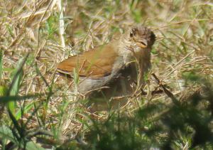 Orange-billed Nightingale-thrush(immature?)