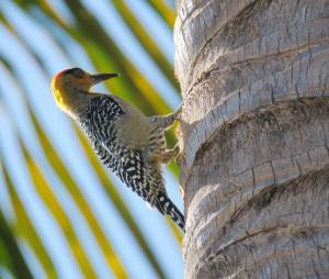 Golden-cheeked Woodpecker
