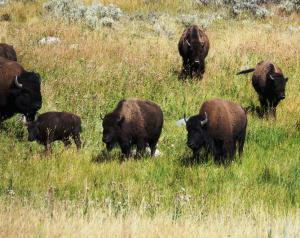American Bison, Yellowstone NP