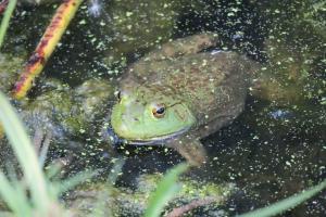 Bullfrog, Farmington Bay WMA