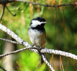 Black-capped Chickadee, Glacier NP