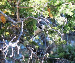 Mountain Chickadee, Yellowstone NP
