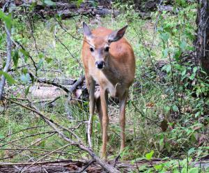 Deer, Glacier NP