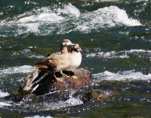 Harlequin Duck, Yellowstone NP