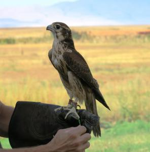 Prairie Falcon with falconer, Farmington Bay UT