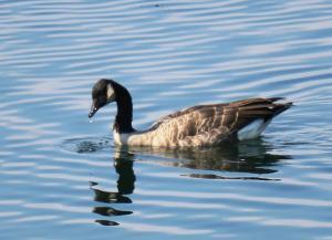 Canada Goose, Jackson WY