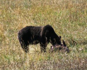 Grizzly, Lamar Valley, Yellowstone NP