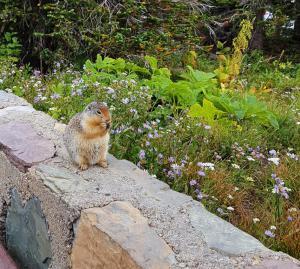 Golden-mantled Ground Squirrel, Logan Pass, Glacier NP
