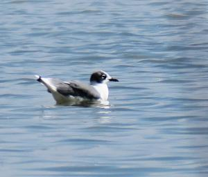 Franklin's Gull, Bear River Migratory Bird Refuge, UT