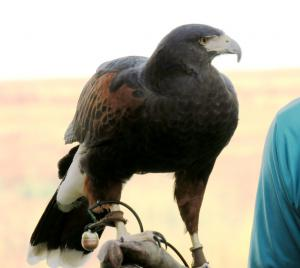 Harris Hawk with falconer, Farmington Bay UT
