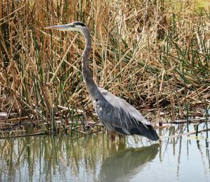 Great Blue Heron, Bear River Migratory Bird Refuge, UT