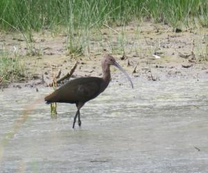 White-faced Ibis, Farmington Bay UT