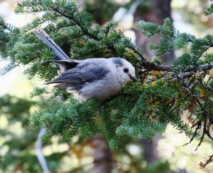 Canada (Gray) Jay, Grand Teton NP