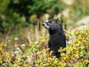 Yellow-bellied Marmot juvenile, Jackson Hole WY