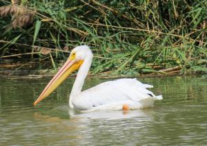 American White Pelican, Grand Teton NP