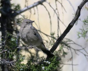Townsend's Solitaire, Yellowstone NP