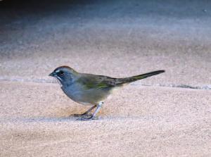 Green-tailed Towhee, Jardine MT